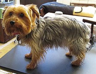 Yorkshire Terrier Frisuren | Hollys Hundeservice